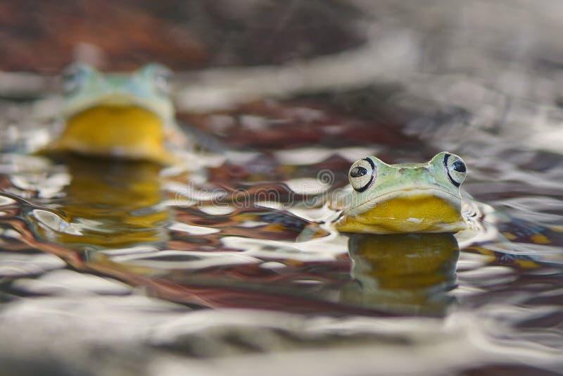 Rã nadadora na água imagem de stock royalty free