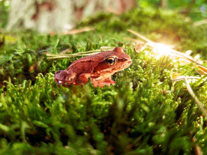 Rã pequena no close-up verde do musgo em uma floresta com luz solar fotos de stock