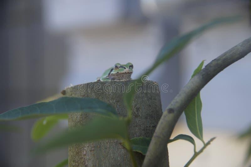 Rã que senta-se em uma árvore imagens de stock