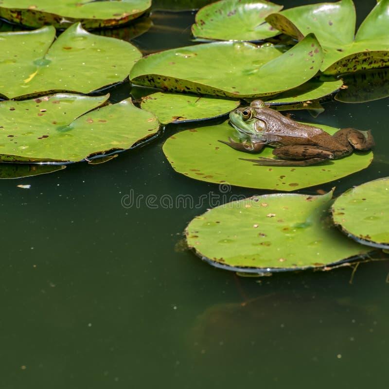 Rã que senta-se lilly em uma almofada na água fotografia de stock royalty free