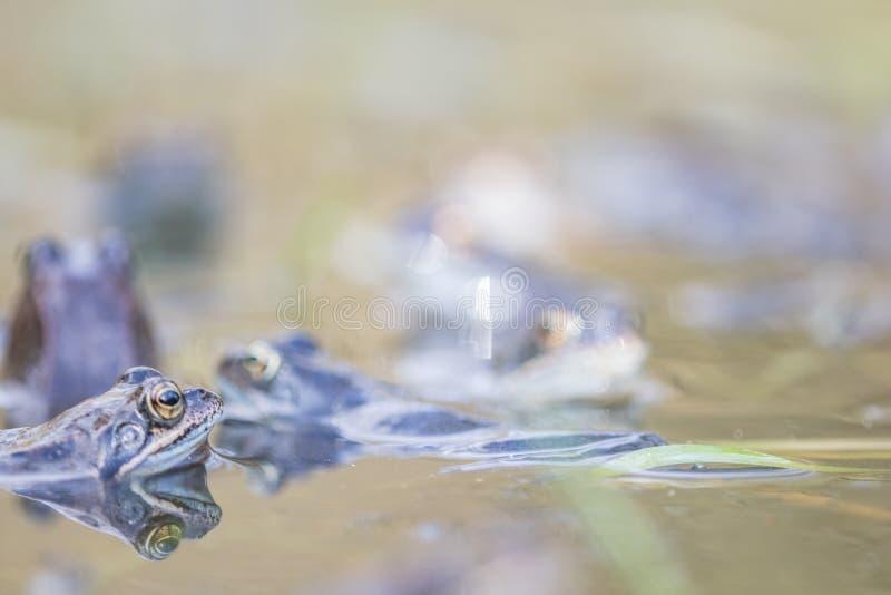 rã,sapo europeu,rana temporaria no início da primavera durante o acasalamento,bufo bufo fotos de stock