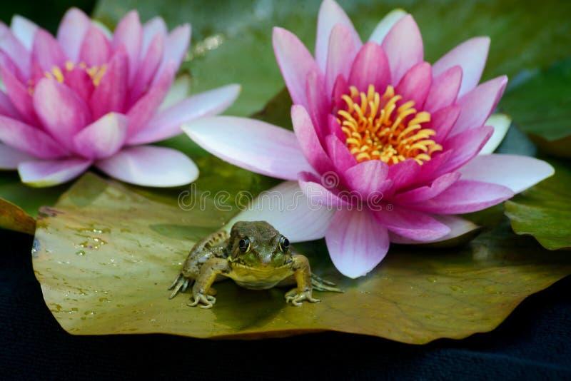 Download A Rã Senta-se Lilly Na Almofada Entre Flores Foto de Stock - Imagem de almofada, florescer: 65575722