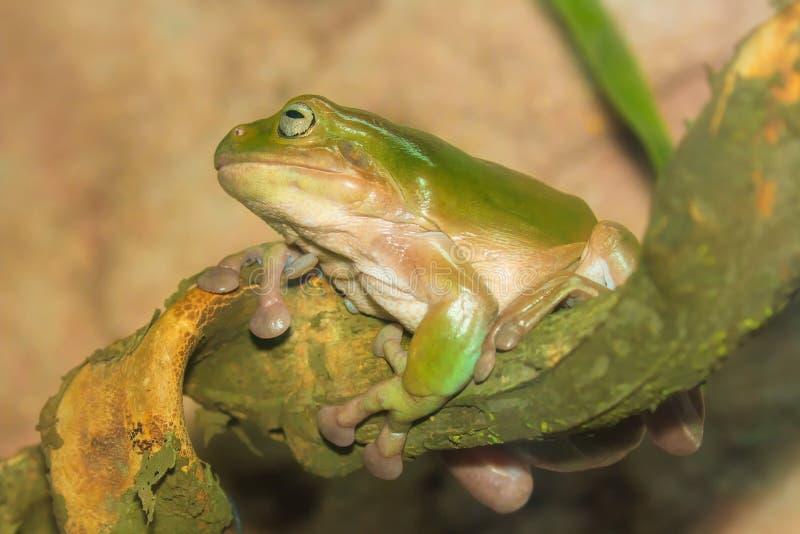 Rã tropical verde em um ramo, close-up imagem de stock