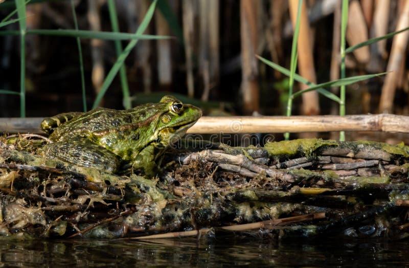 Rã verde da água, Rana esculenta sentando o Sun fotografia de stock