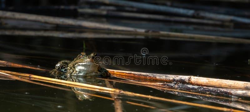 Rã verde da água, Rana esculenta sentando o Sun fotos de stock royalty free