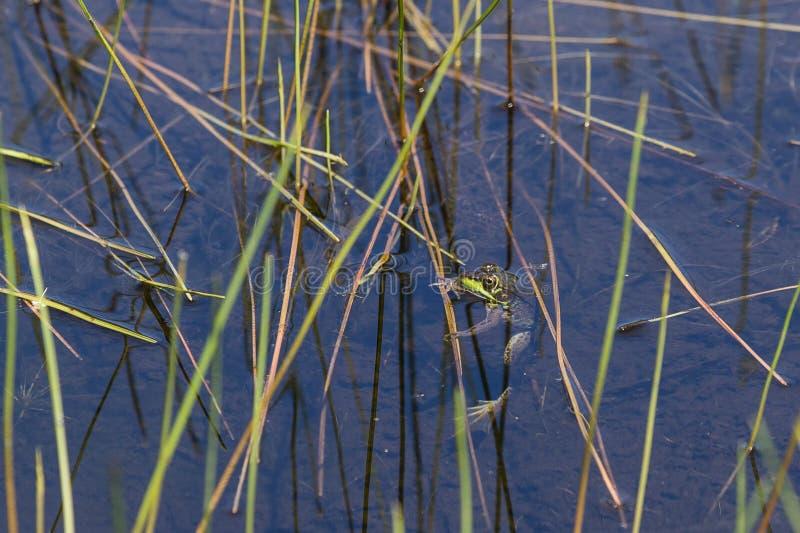 Rã verde do norte que pendura em Reed fotografia de stock