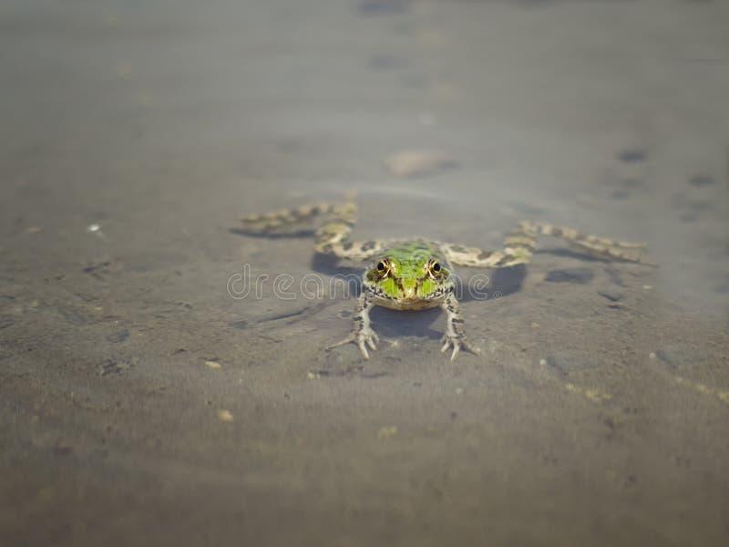 Rã verde dos animais selvagens na lagoa foto de stock