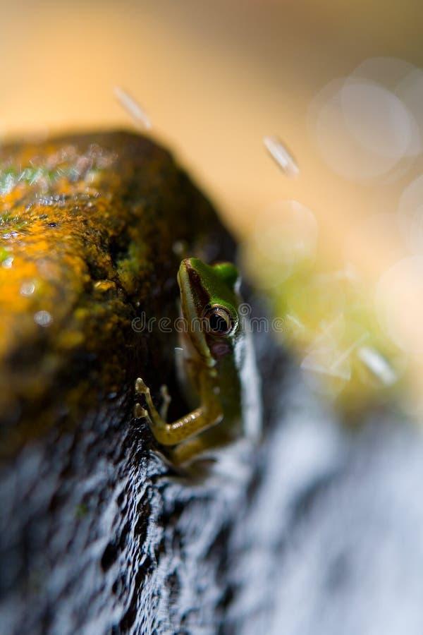 A rã verde e a água bonitas exóticas espirram fotos de stock