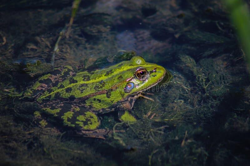 Rã verde que espreita para fora da extremidade rasa do lago imagem de stock