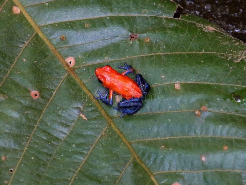 Rã vermelha de Costa Rican da rã do dardo de calças de ganga imagem de stock royalty free