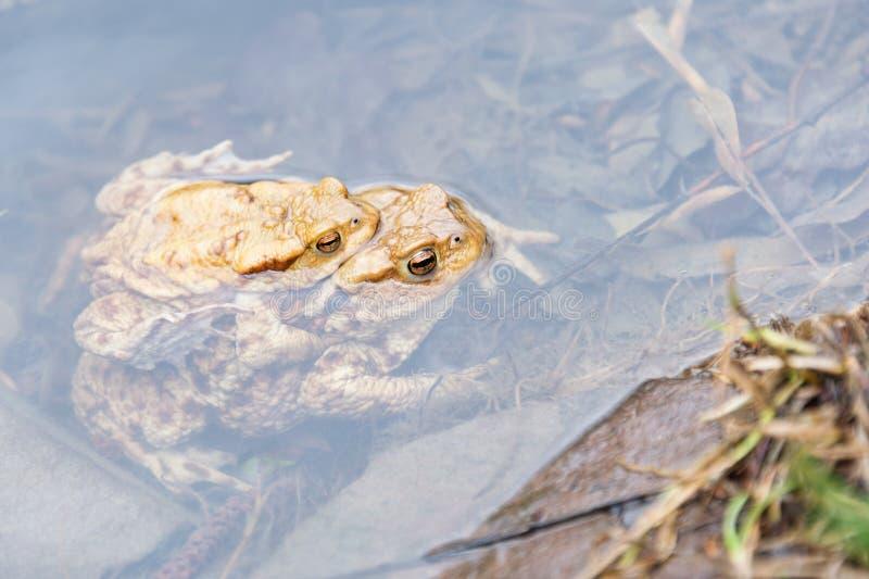 Rãs de acoplamento no lago Pares de sapos comuns marrons fotografia de stock royalty free