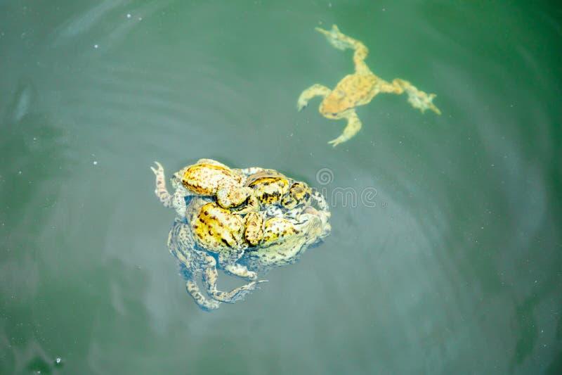 Rãs na água - homem e período fêmea da reprodução fotografia de stock