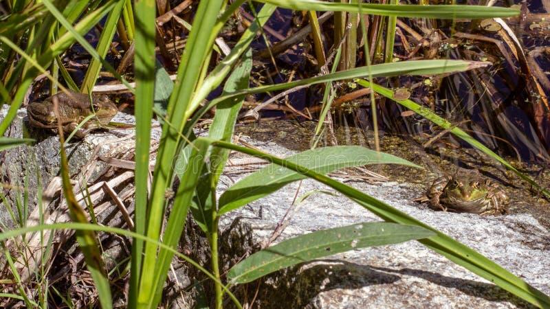 Rãs que tomam sol em uma pedra em uma lagoa fotos de stock royalty free
