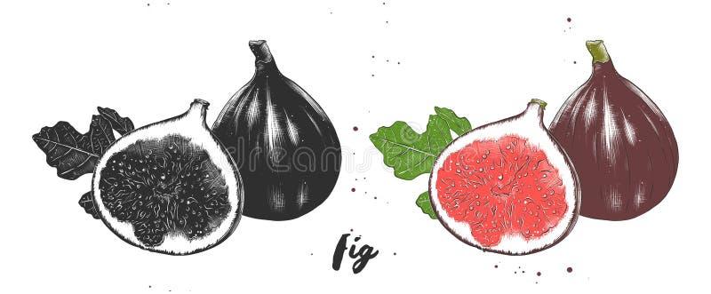 Ręka rysujący nakreślenie świeże figi w monochromatycznym i kolorowym Szczegółowy jarski karmowy rysunek royalty ilustracja