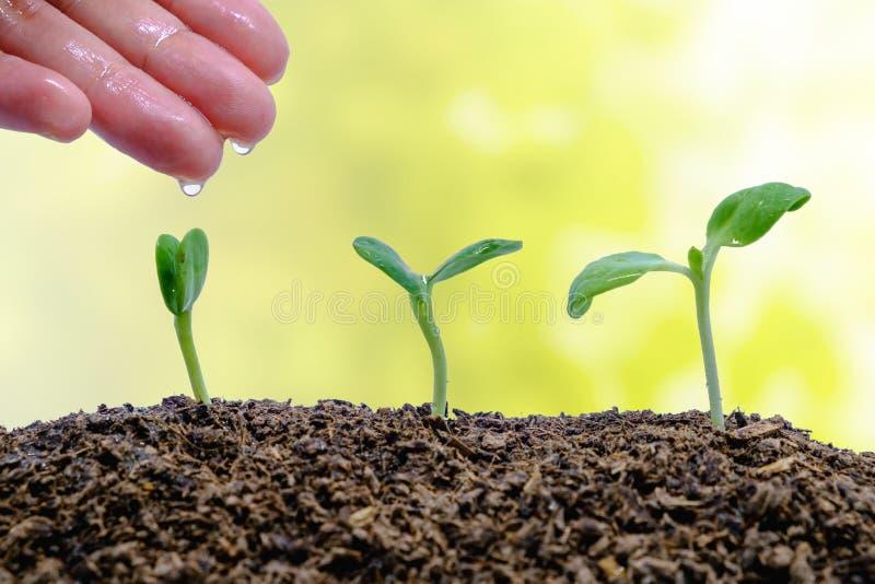 Räcka att bevattna grodden som växer från jord på suddig naturlig bakgrund fotografering för bildbyråer