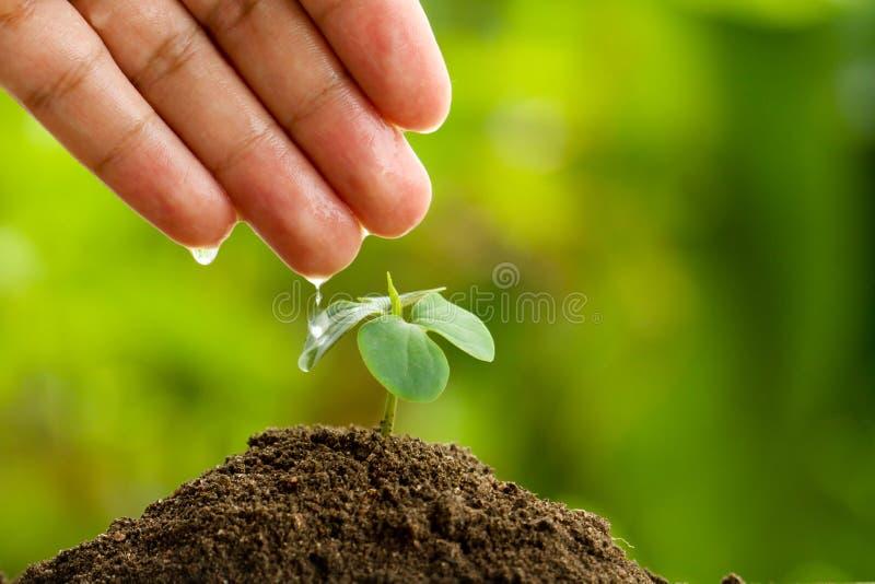 Räcka att bevattna plantan på rik jord vid försiktigt och omsorg arkivbilder