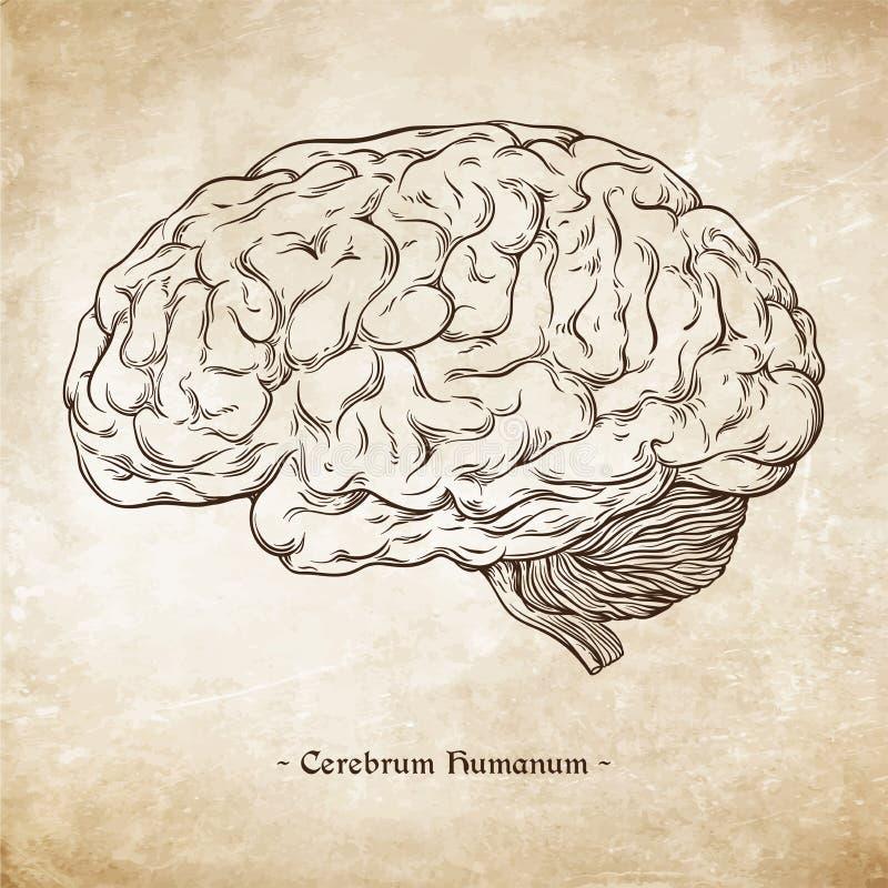 Räcka den utdragna linjen korrekt mänsklig hjärna för konst anatomically Da Vinci skissar stil över grunge åldras pappers- bakgru royaltyfri illustrationer