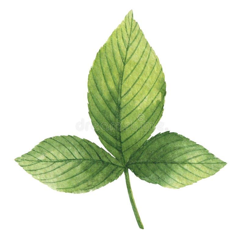 Räcka den utdragna vattenfärgen den botaniska illustrationen av ett grönt bladhallon royaltyfri illustrationer