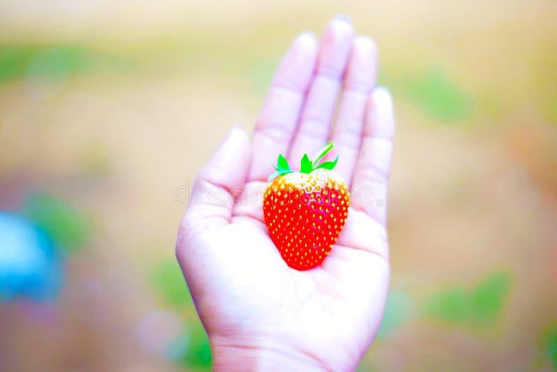 Räcka hållen den nya jordgubben på träd i fruktodlingen, organiska lokalfrukter för experimentprov arkivfoto