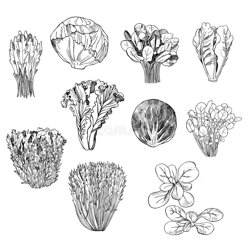Räcka utdragna olika sorter av grönsallat på vit bakgrund royaltyfri illustrationer