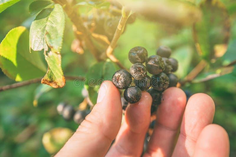 Räcka val av mogen aroniabärfrukt från filialen royaltyfria foton