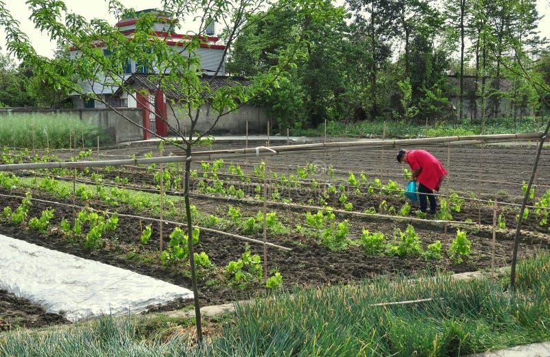 Pengzhou Kina: Kvinna i vingård royaltyfri foto