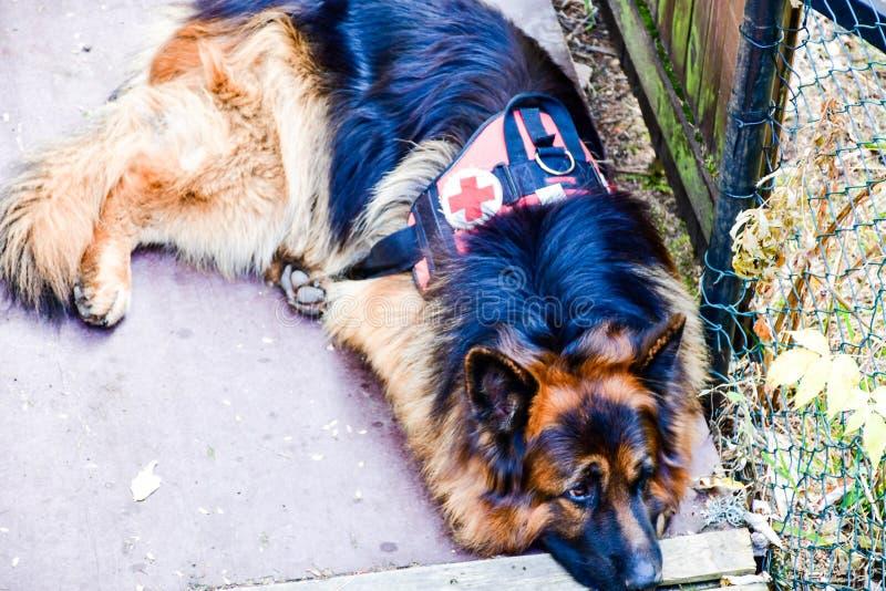 Räddningsaktionhund fotografering för bildbyråer