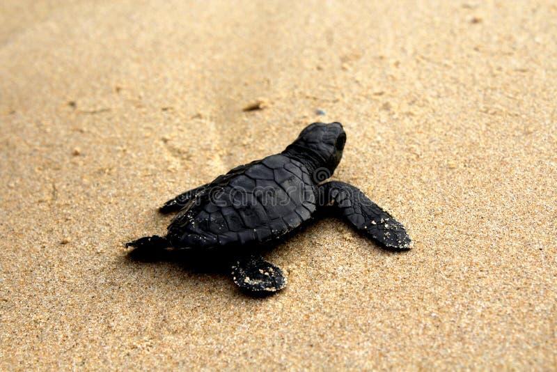 Räddningsköldpadda, royaltyfria bilder