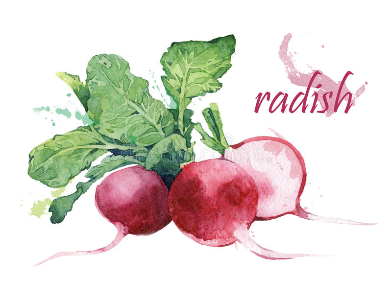 Rädisa stock illustrationer