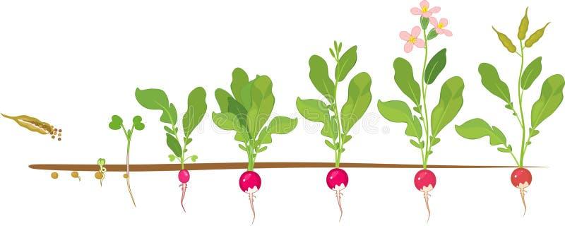 Rädisalivcirkulering Etapper i rad av tillväxt från kärnar ur till att blomma och den fruktbärande växten royaltyfri illustrationer