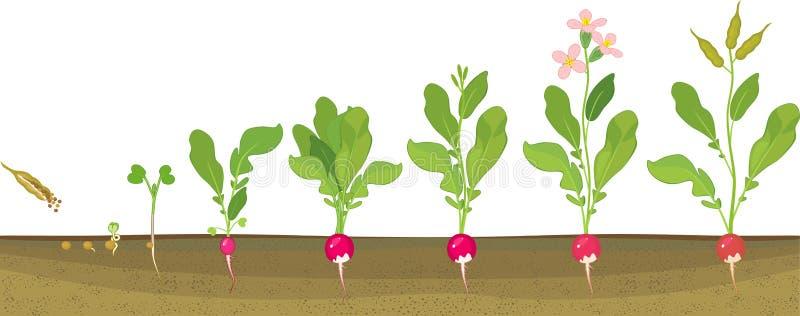 Rädisalivcirkulering Etapper i rad av tillväxt från kärnar ur till att blomma och den fruktbärande växten vektor illustrationer