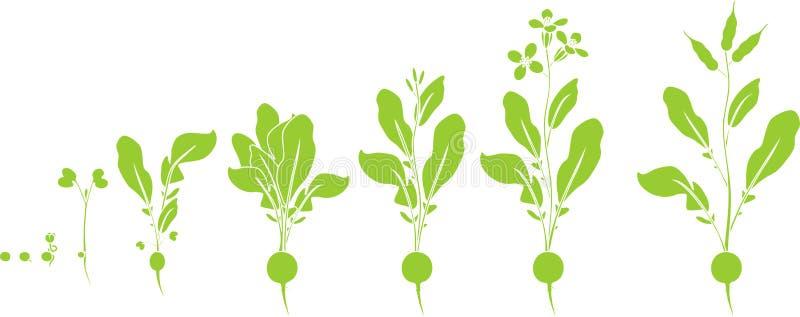 Rädisalivcirkulering Gröna konturer av etapper i rad av tillväxt från kärnar ur till att blomma och den fruktbärande växten stock illustrationer