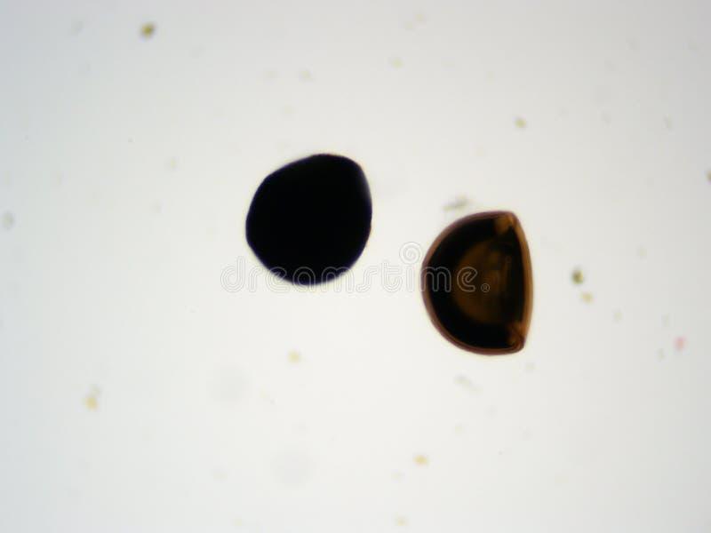 Räkaäggmikroskop 100x fotografering för bildbyråer