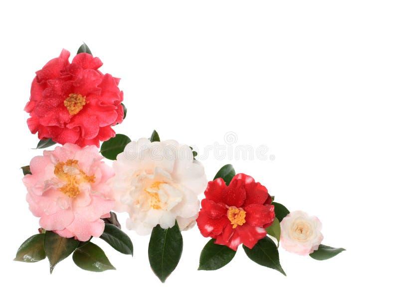 räknad dagg isolerad white för kant camellia arkivfoton