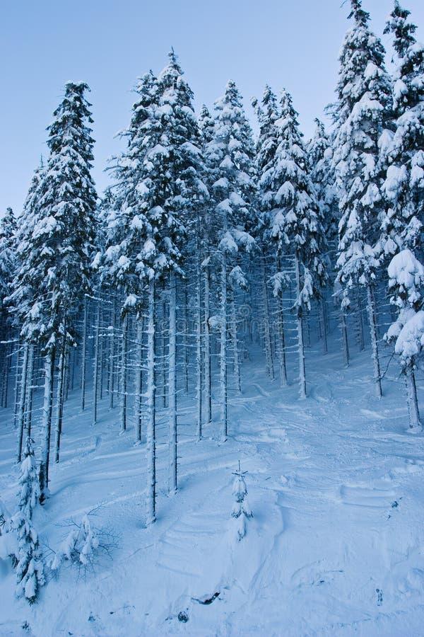 räknad skogsnowspruce royaltyfri foto