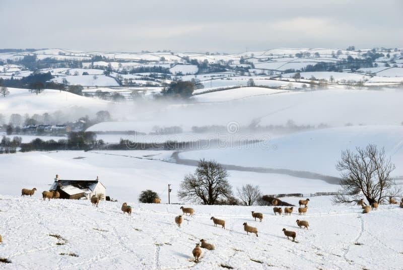 räknad snow för fältkullfår arkivfoton