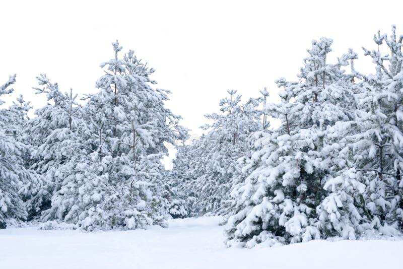 räknad snowspruce royaltyfria bilder
