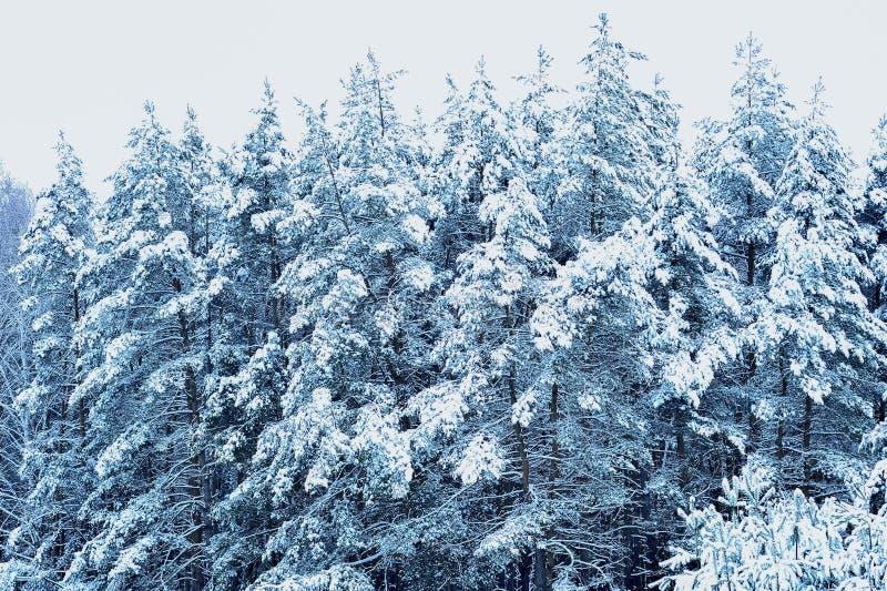 räknade snowsprucetrees Bakgrund arkivfoton