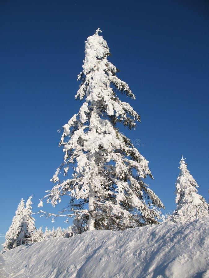 räknade vintergröna snowtrees arkivbilder