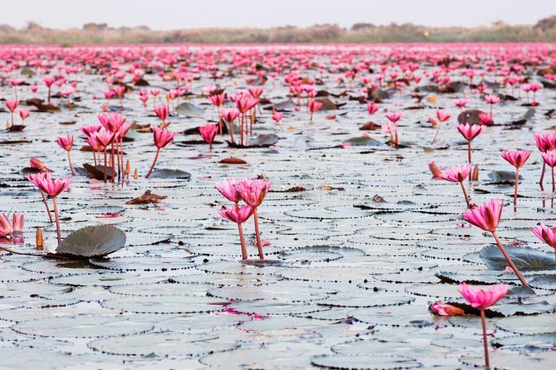 Räknat lotus vatten lever i full blomning under morgonljus - ren och vacker röd lotus-sjö i Nong Harn, Udonthani - Thailand royaltyfria bilder