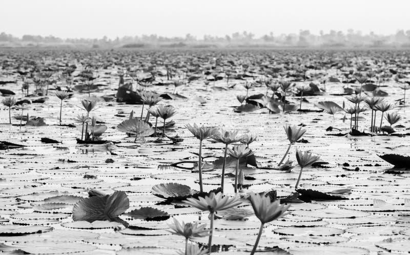 Räknat lotus vatten lever i full blomning under morgonljus - ren och vacker röd lotus-sjö i Nong Harn, Udonthani - Thailand royaltyfri foto