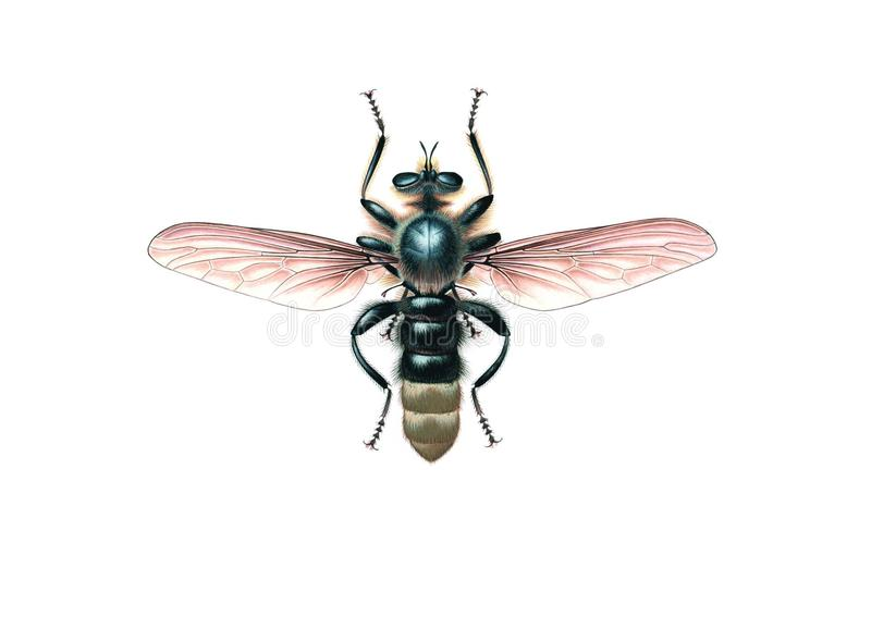 Räuber-Fliege (Laphria-gibbosa) lokalisiert auf weißem Hintergrund lizenzfreies stockbild