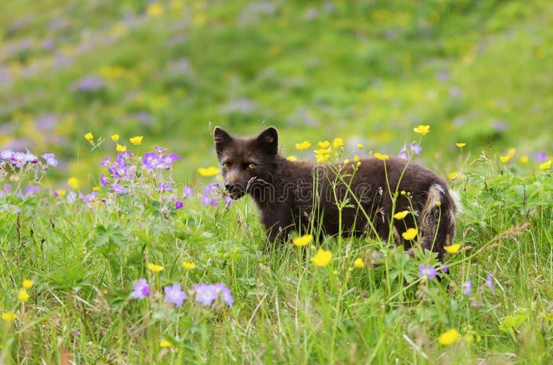 Räv för blå morf för vuxen människa arktisk i ängen med blommor arkivbilder