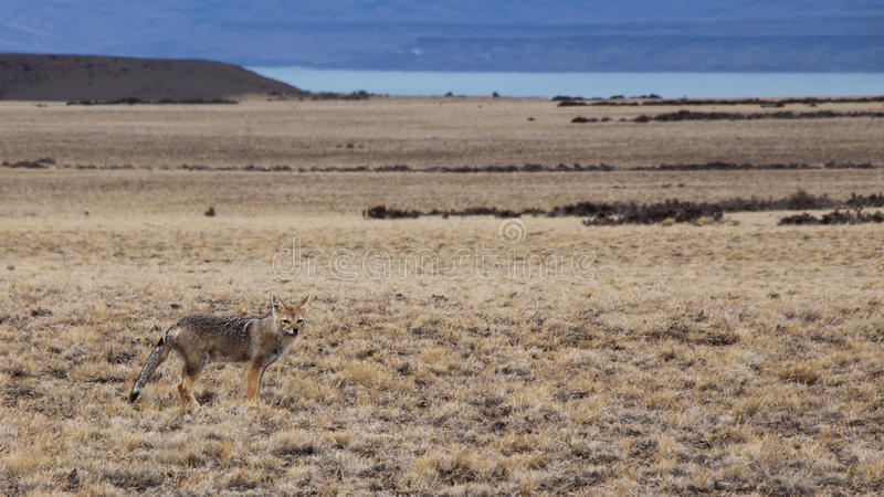 räv patagonian royaltyfria foton