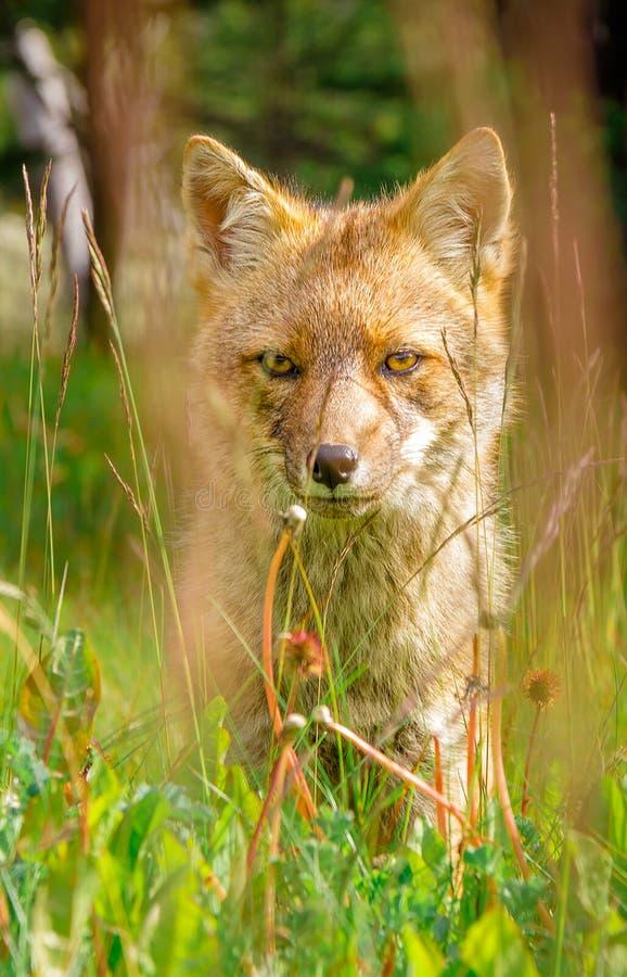 Räv Ushuaia royaltyfria foton