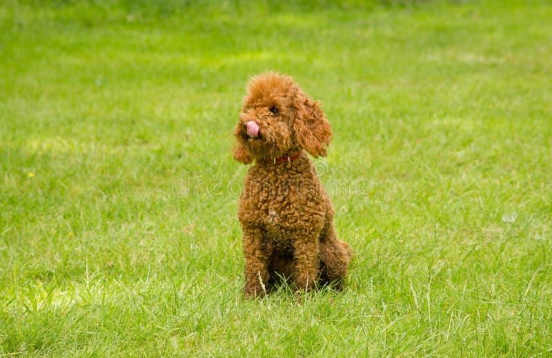 rävaktig hund royaltyfria bilder