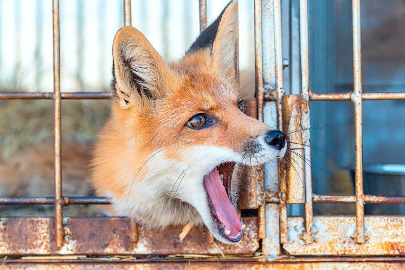 Räven i en bur gäspar arkivfoto