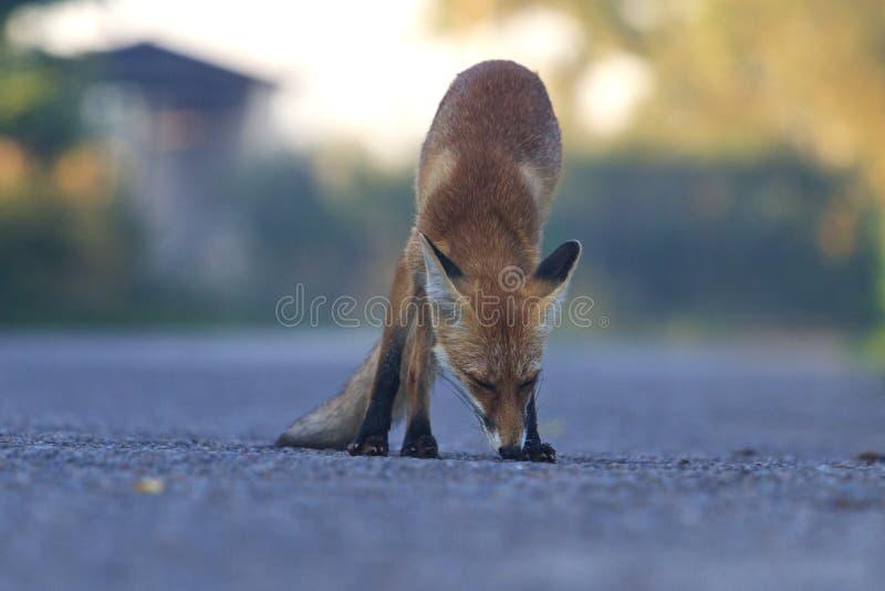 Räven som sniffar vägen bör det, vara fotografering för bildbyråer