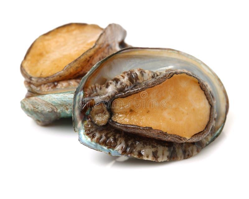 rå abalone royaltyfria foton
