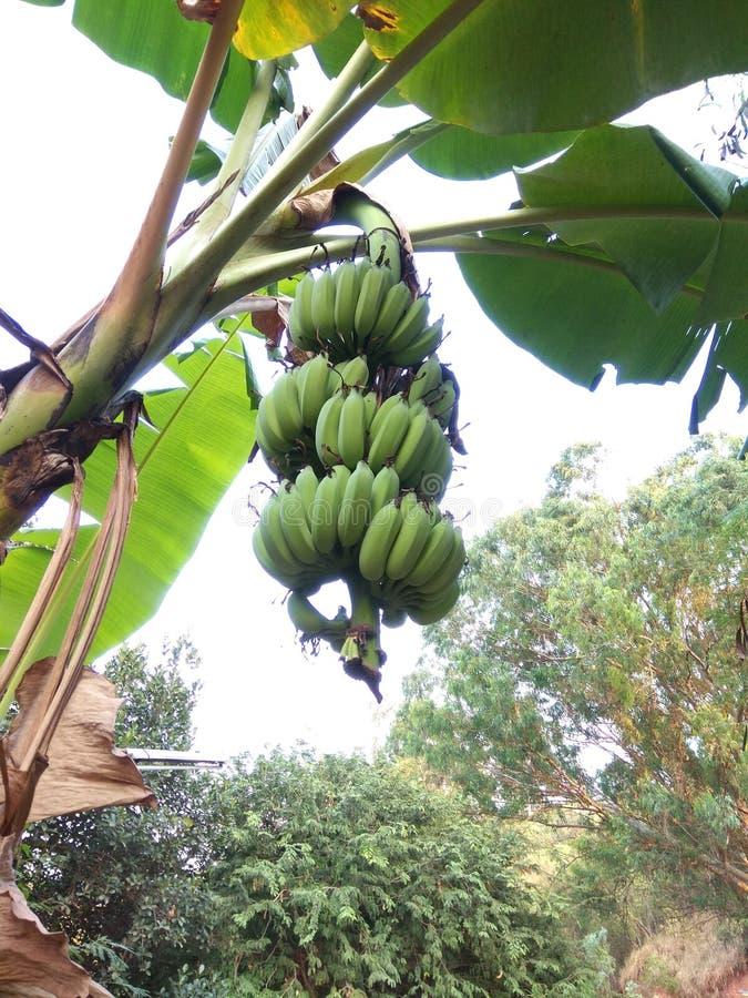 Rå bananer på bananträd arkivfoton